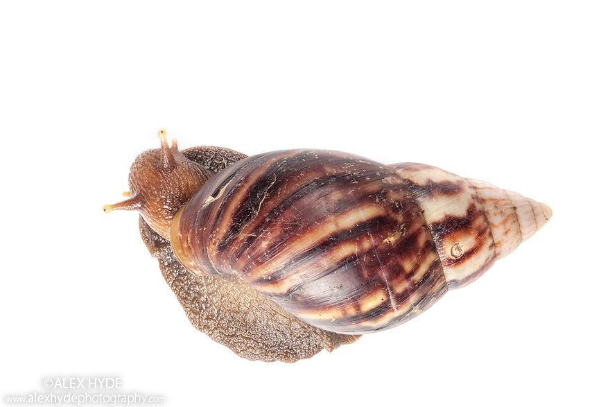 Giant Land Snail {Achatinidae} photographed on a white background in mobile field studio in tropical rainforest. Danum Valley, Sabah, Borneo, Malaysia.