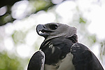 World's largest eagle, the sloth and monkey hunting harpy eagle of Central and South America, here seen at the Belize Zoo, photographed from within its aviary.