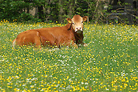 Young Limousin bull lying down in a field, near Wolsingham, Durham.