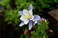 Colorado Columbine flowers or Aquilegia caerules on the trail to Crater Lake and the Maroon Bells in Aspen, Colorado, July 12, 2011...Photo by Matt Nager