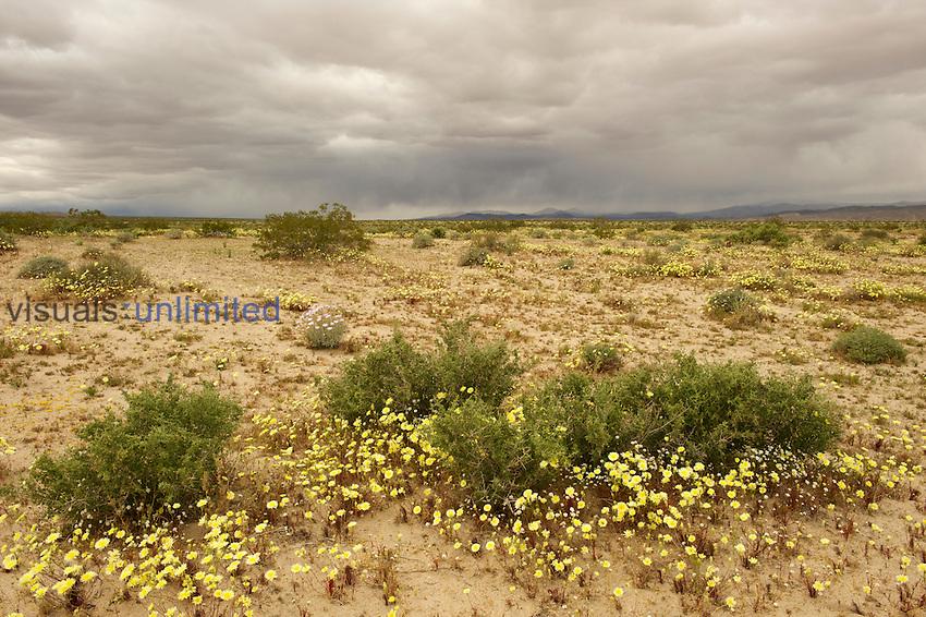 Desert Dandelion flowers (Malacothrix glabrata) surround Creosote Bushes (Larrea tridentata), Fort Irwin, Mojave Desert, California, USA.