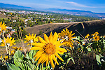 Arrow Leaf Balsamroot flowers on Mount Sentinel in Missoula, Montana