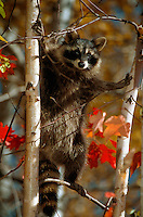 Raccoon standing in a birch tree in autumn.
