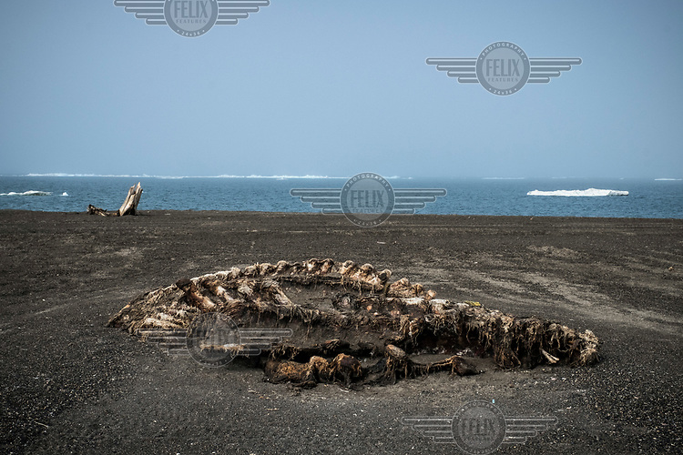 An animal carcass half buried in the sand at the Point Barrow. The place is used by locals for the disposing of the whale bones and visitors are warned not to go to Point Barrow without an armed guide, as hungry polar bears often wander around, attracted by whale remains and looking for food.