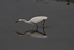 snowy egret feeding at Moss Landin