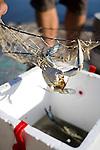 Blue crab clinging to crabbing net