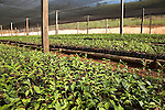 Tea seedlings in a nursery near the village of Chimate in the Yungas region of Bolivia.