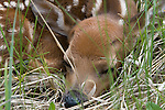 White-tailed deer (Odocoileus virginianus) fawn sleeping