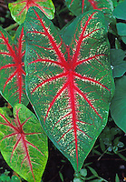 Colorful variegated red and green leaves of the croton plant, commonly used in island landscaping.