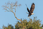 Brazoria County, Damon, Texas; an adult bald eagle taking flight from atop a tall tree in early morning sunlight