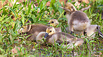 Goslings resting next to the water's edge in northern Wisconsin.