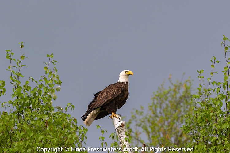 Bald eagle perched on a birch tree in northern Wisconsin.