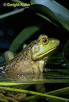 FR05-001b  Bullfrog - adult in pond - Lithobates catesbeiana, formerly Rana catesbeiana