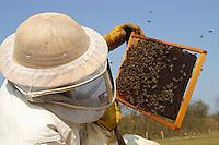 Imker kontrolliert seine Bienen, Bienenvolk, Honigbiene, Honig-Biene, Honigbienen, Biene, Bienen, Imkerei, Apis mellifera, honey bee, hive bee