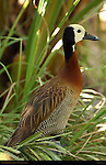 White-Faced Whistling Duck, Southern California