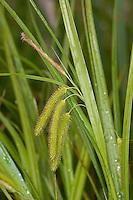 Scheinzypergras-Segge, Scheinzyperngras-Segge, Scheinzyperngras - Segge, Carex pseudocyperus, Cyperus Sedge, Laiche faux-souchet