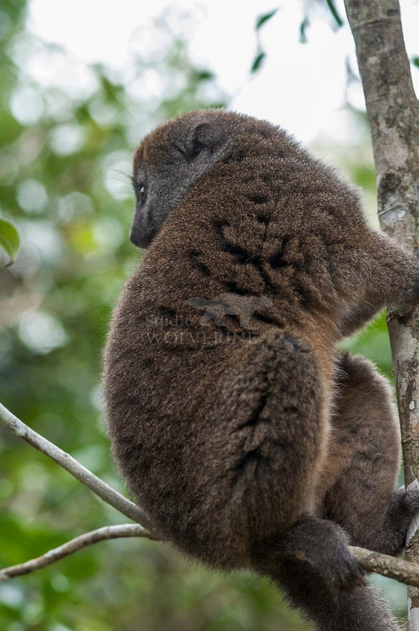 Eastern Grey Bamboo Lemur (Hapalemur griseus)