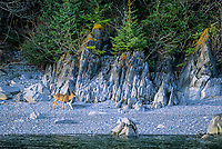 Sitka black-tailed deer walks along the shore of Knight Island, Prince William Sound, Alaska.