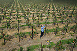 """Pictured: Colin Pratt inspects the crop of jazz apples in one of the orchards on the Leckford Estate in Hampshire ahead of the annual harvest next week. <br /> <br /> Nearly 16,000 trees at Leckford will be picked for fruit in this year's harvest, with all the hand-picked produce heading to the shelves in Waitrose stores nationwide.<br /> <br /> Fruit Farm Manager Colin Pratt said """"The rain and cooler nights came just in time after a long, dry spell which has given the cox apples their vibrant red hue"""". <br /> <br /> © Jordan Pettitt/Solent News & Photo Agency<br /> UK +44 (0) 2380 458800"""