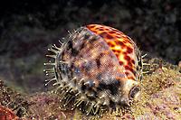 tiger cowrie, Cypraea tigris, Garove Island, Witu Islands, Papua New Guinea (Bismarck Sea / Western Pacific Ocean)