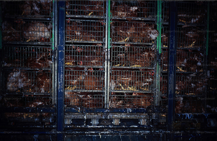 Central America, Honduras. Chickens transported by lorry to market. 1995.'MEAT' across the World..foto © Nigel Dickinson