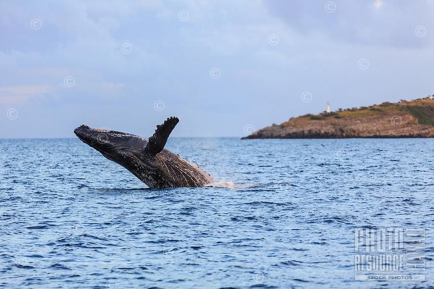 A mature humpack whale falls back into the ocean following a magnificent breach in Ma'alaea Bay, Maui.