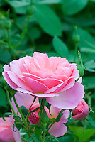 Rose 'Hyde Hall' pink English Rose (Rosa 'Ausbosky'), single flower highlighted against blurred green background, buds, other flowers below