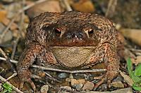 Krötengoldfliege, Kröten-Goldfliege, Krötenfliege, Kröten-Fliege, Lucilia bufonivora, toadfly. Von Larven der Krötengoldfliege parasitierte Erdkröte, Bufo bufo, common toad. Durch den Befall sind die Nasenöffnungen der Kröte durch den Larvenfraß aufgeweitet. Parasitismus, Myiasis, Fliegenmadenkrankheit