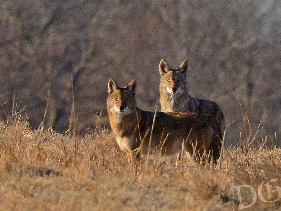 Courtesy photo/TERRY STANFILL<br />CURIOUS COYOTES<br />Coyotes are seen in western Benton County. Terry Stanfill took the picture in January at his home near Decatur.