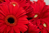 April 30, 2007; Los Angeles, CA - Red Gerbera flowers..Photo Credit: Darrell Miho