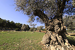 Israel, Lower Galilee, an Olive grove by Kiryat Ata forest