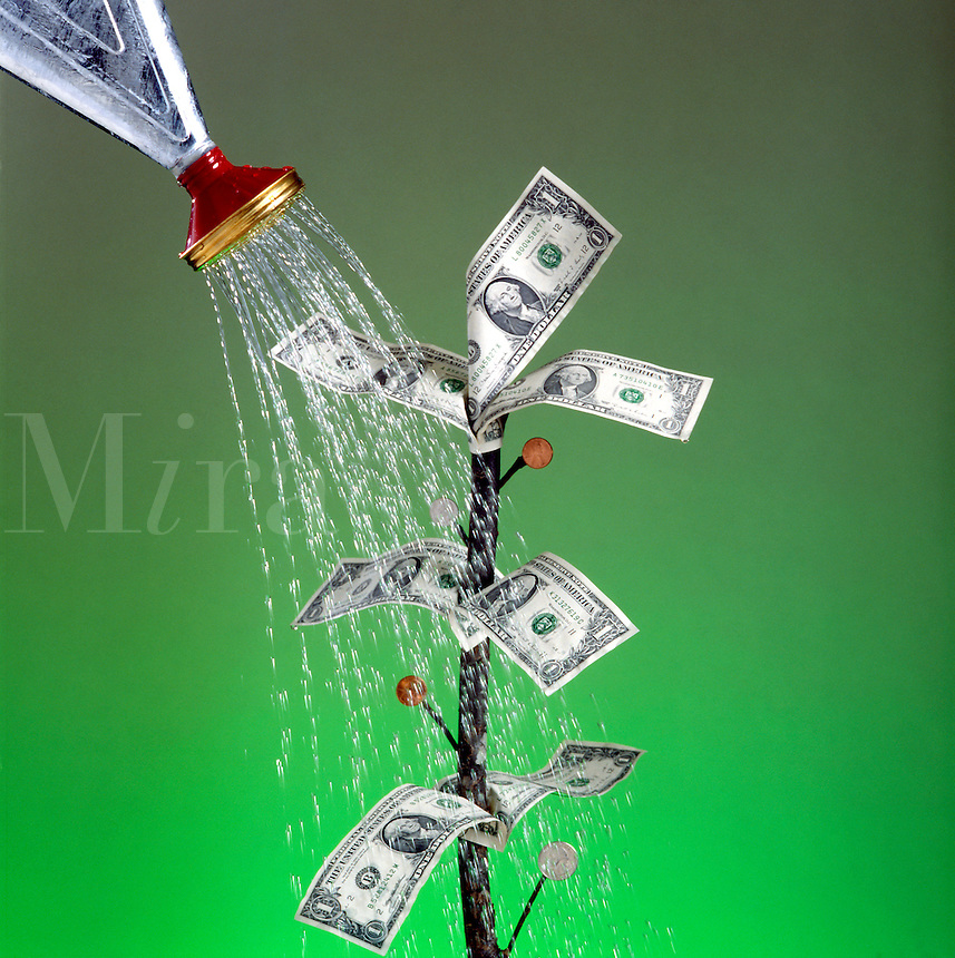 Watering money tree, growing money