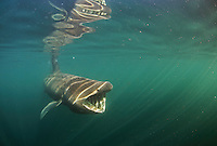 Basking Shark (Cetorhinus maximus); in the area of the Island of Mull; Scotland. June <br /> 2009. (Coll and Tiree Islands area)