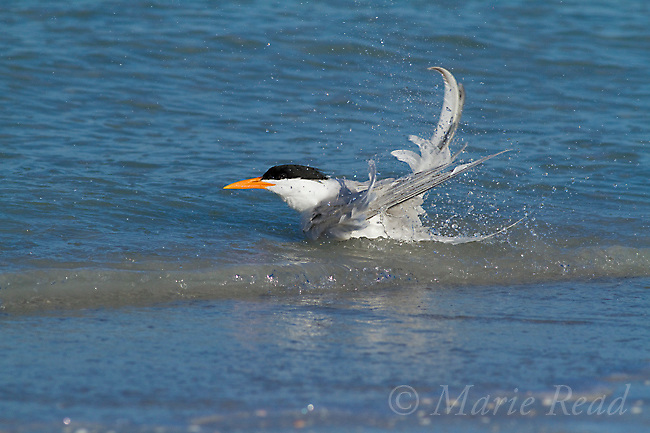 Royal Tern (Sterna maxima), bathing in shallow water at the edge of the ocean, Fort DeSoto Park, Florida, USA