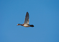Wood Duck (Aix sponsa), male in flight, Sinton, Corpus Christi, Coastal Bend, Texas, USA