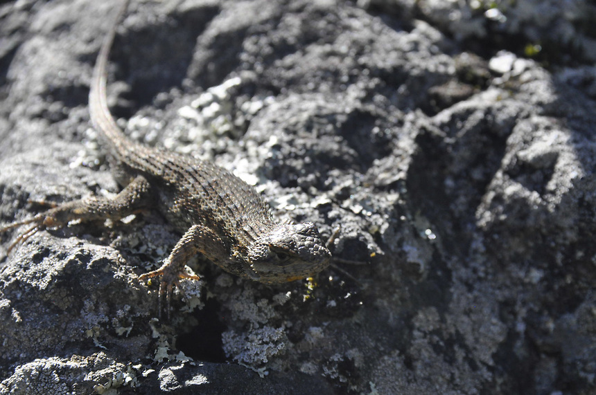 Western Fence Lizard (Sceloporus occidentalis), Mt. Tamalpais State Park, Marin County California, US