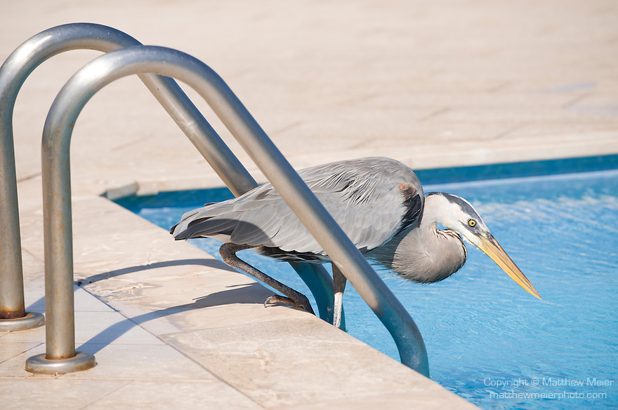 Puerto Ayora, Santa Cruz Island, Galapagos, Ecuador; a Great Blue Heron (Ardea herodias) bird standing at the edge of the swimming pool at the Finch Bay Eco Hotel , Copyright © Matthew Meier, matthewmeierphoto.com All Rights Reserved