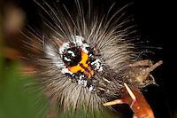 Schwan, Raupe, Portrait, Euproctis similis, Porthesia similis, Sphrageidus similis, yellow-tail, gold-tail, Trägspinner, Lymantriidae