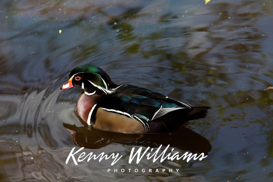 Wood Duck on Pond with Tree Reflection, (Aix Sponsa), Birds, Florida, FL, America, USA.