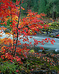Rogue River National Forest, OR:  A brilliant Vine Maple (Acer circinatum in fall color along the basalt banks of the Rogue River at Natural Bridge