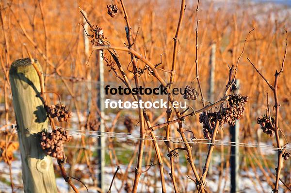 verbliebene, vertrocknete Trauben am Rebstock im winterlichen Weinberg