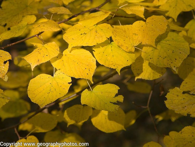 Yellow leaves in autumn of Common Lime tree, Suffolk, England
