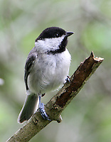Adult Carolina chickadee