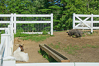 Pot-bellied Pig hog and Boer goat, farm animals mixed together in fenced paddock with water trough