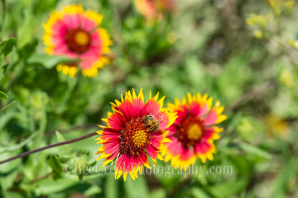 Indian blanket wildflowers with bee