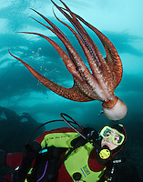 pp0108-D. Pacific Giant Octopus (Enteroctopus dofleini) interacts with scuba diver (Model Released). British Columbia, Canada, Pacific Ocean..Photo Copyright © Brandon Cole. All rights reserved worldwide.  www.brandoncole.com..This photo is NOT free. It is NOT in the public domain. This photo is a Copyrighted Work, registered with the US Copyright Office. .Rights to reproduction of photograph granted only upon payment in full of agreed upon licensing fee. Any use of this photo prior to such payment is an infringement of copyright and punishable by fines up to  $150,000 USD...Brandon Cole.MARINE PHOTOGRAPHY.http://www.brandoncole.com.email: brandoncole@msn.com.4917 N. Boeing Rd..Spokane Valley, WA  99206  USA.tel: 509-535-3489