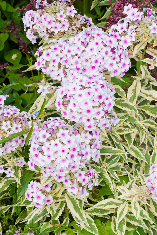 Phlox paniculata 'Norah Leigh' variegated leaves foliage with flowers