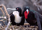 great frigate birds in nest, Tower Island
