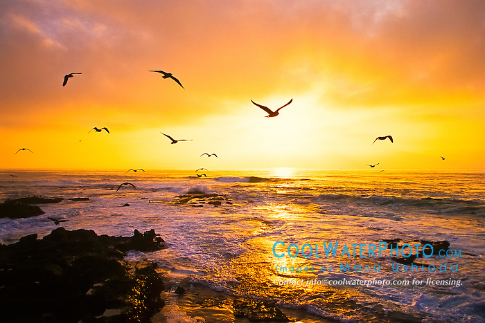 sea gulls in flight at sunset, La Jolla, San Diego, California, USA, Pacific Ocean