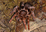 King Baboon, Citharischius crawshayi, Tarantula, female, 2nd largest in world and heaviest, found in Kenya .Kenya....